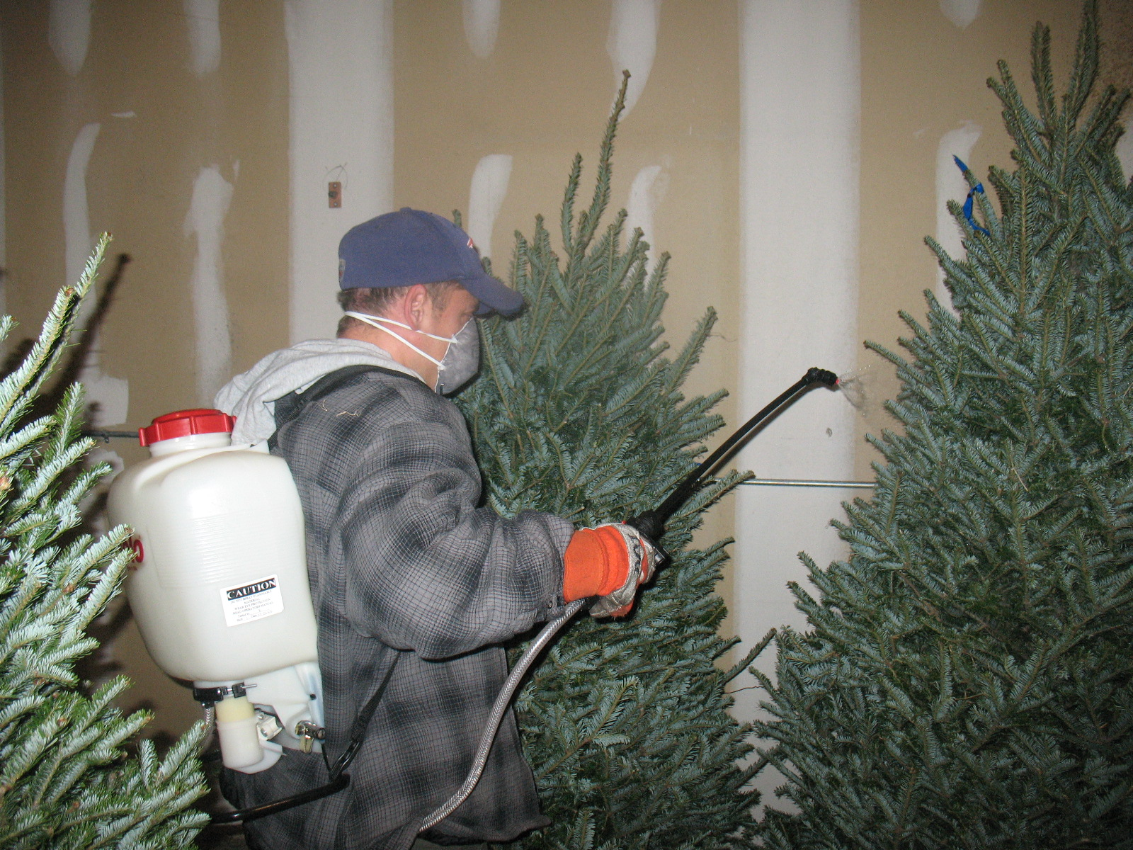Superb Fire Retardant Spray For Christmas Trees Part - 5: Spraying Christmas Tree Fire Retardant .