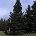 Large Blue Spruce