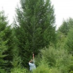 Large Douglas Fir