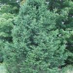 Large White Spruce