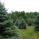 Blue Spruce Field